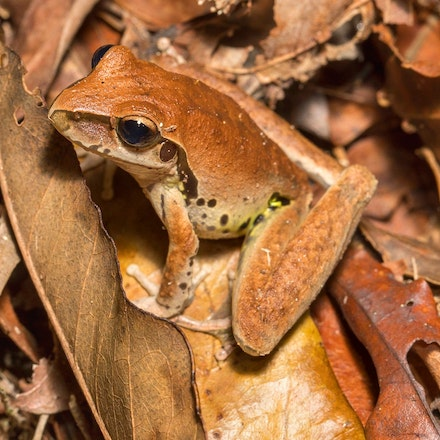 Northern Stony Creek Frog,  litoria jungguy