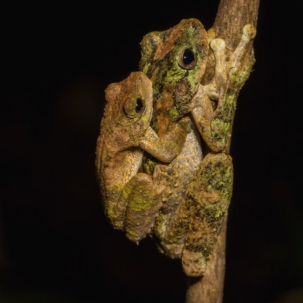 Green-Eyed Tree Frog,  Litoria genimaculata