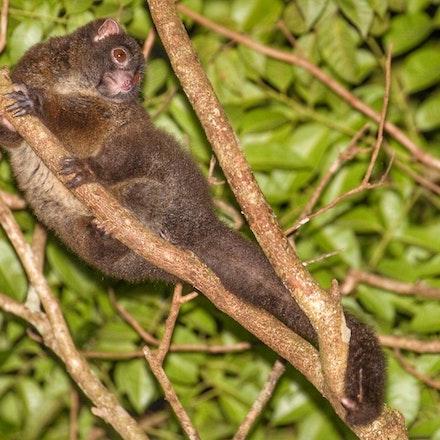 Lemuroid Ringtail Possum,  Hemibelideus lemuroides