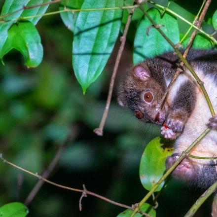 Herbert River ringtail possum , Pseudochirulus herbertensis - Herbert River ringtail possum , Pseudochirulus herbertensis, possum , wet tropics