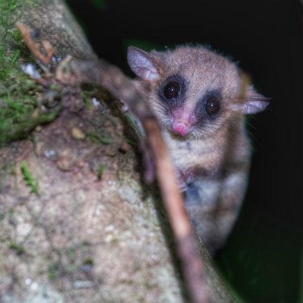 Long Tailed Pygmy Possum,  Cercartetus caudatus - Long Tailed Pygmy Possum,  Cercartetus caudatus, possums, wet tropics