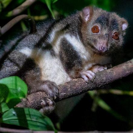 Herbert River ringtail possum , Pseudochirulus herbertensis - Herbert River ringtail possum , Pseudochirulus herbertensis, possums , wet tropics