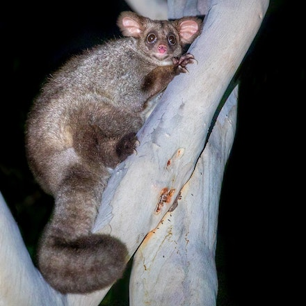 greater glider, Petauroides volans - greater glider, Petauroides volans, possums, wet tropics