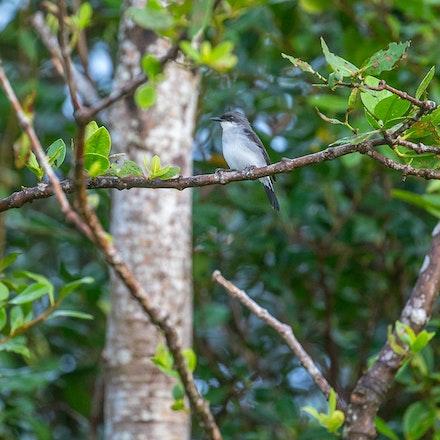 Mangrove Robin,  Peneothello pulverulenta - Mangrove Robin,  Peneothello pulverulenta, daintree, wet tropics
