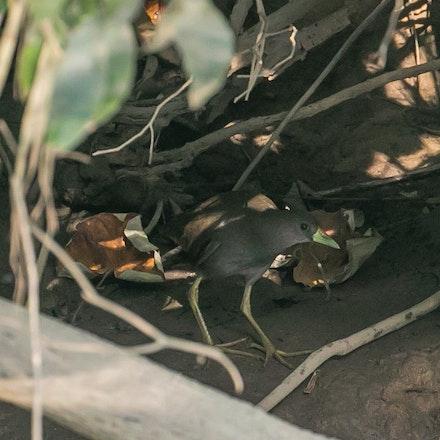 Pale vented bush hen ,  Amaurornis moluccana - Pale vented bush hen ,  Amaurornis moluccana