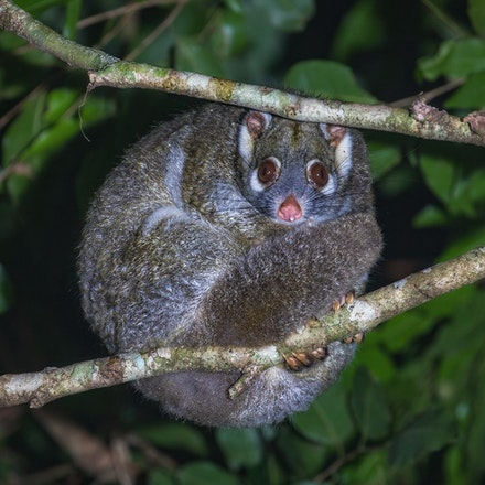 Green ringtail possum,  Pseudochirops archeri - Green ringtail possum,  Pseudochirops archeri. Possums, wet tropics ,