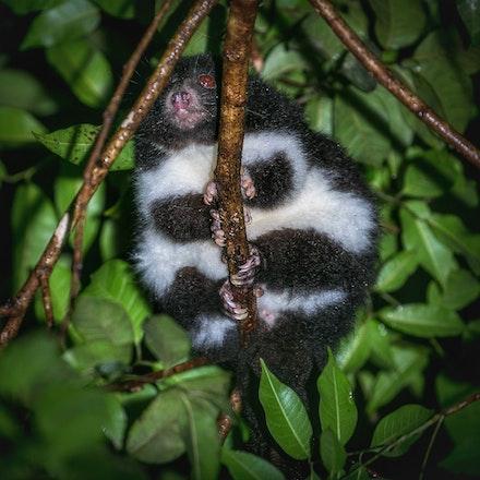 Herbert River ringtail possum , Pseudochirulus herbertensis, - Herbert River ringtail possum , Pseudochirulus herbertensis, possums , wet tropics,