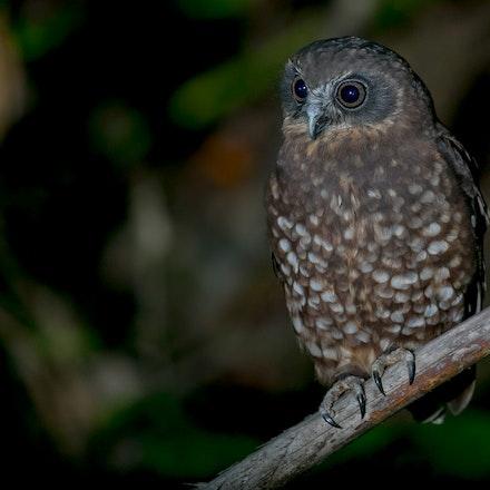 Australian Red Boobook Owl Ninox boobook lurida  (Mt. Lewis) - Southern Boobook Owl Ninox novaeseelandiae (Mt. Lewis)