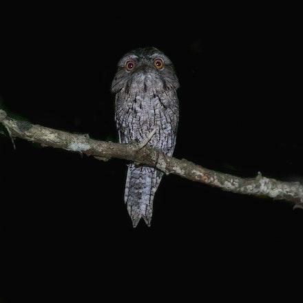 Tawny Frogmouth Podargus strigoides (Julatten) - Tawny Frogmouth Podargus strigoides (Julatten)