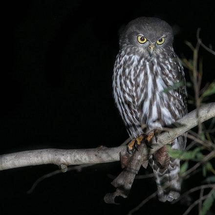 Barking Owl Ninox connivens (Julatten) - Barking Owl Ninox connivens (Julatten)