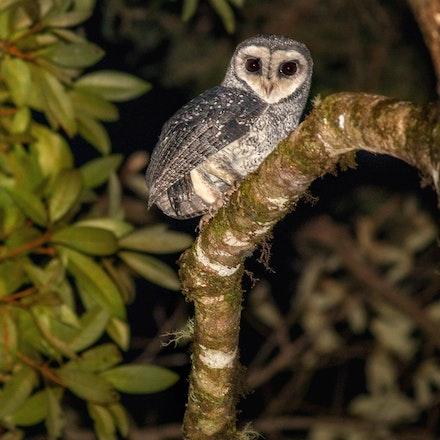 Lesser sooty Owl, (Tyto multipunctata), - Lesser sooty Owl,  Tyto multipunctata), Owl