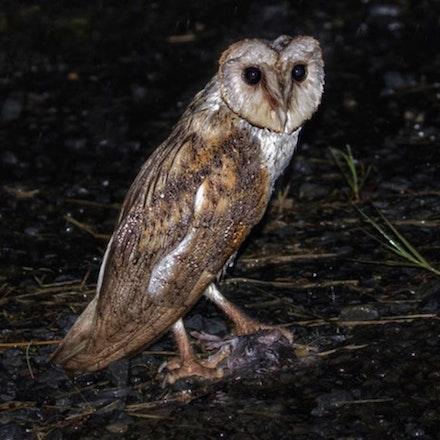 Eastern Barn Owl Tyto javanica (Julatten) - Eastern Barn Owl Tyto javanica (Julatten)