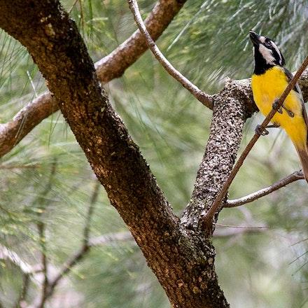 Crested Shrike-tit Falcunculus frontatus (Wondecla) - Crested Shrike-tit Falcunculus frontatus (Wondecla)