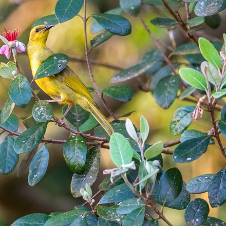 Yellow Honeyeater Lichenostomus flavus (Yungaburra) - Yellow Honeyeater Lichenostomus flavus (Yungaburra)