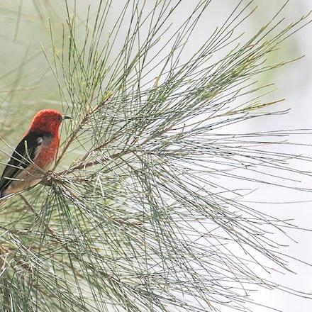 Scarlet Honeyeater Myzomela sanguinolenta (Wondecla) - Scarlet Honeyeater Myzomela sanguinolenta (Wondecla)