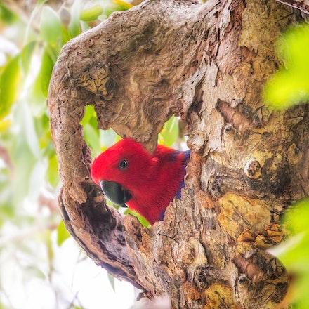 Female Eclectus Parrot Eclectus roratus (Port Douglas) - Female Eclectus Parrot Eclectus roratus (Port Douglas)