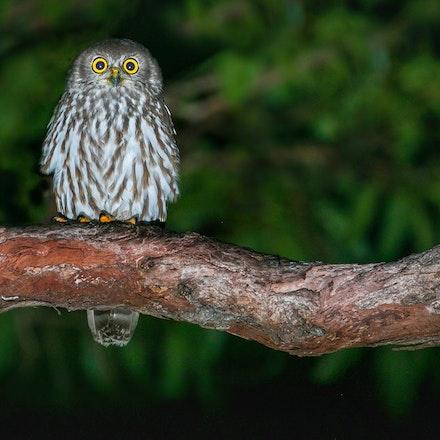 Barking Owl Ninox connivens (Julatten)