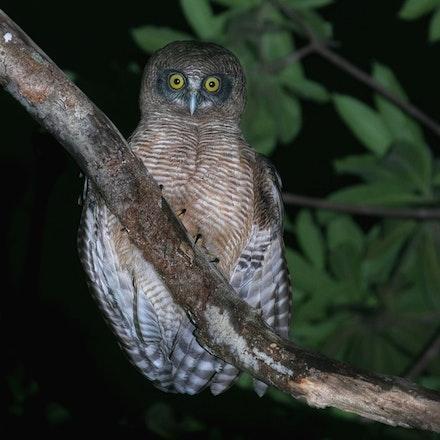 Rufous owl , Ninox rufa - Rufous owl , Ninox rufa, owls