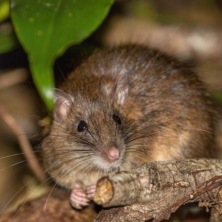 Rattus  leucopus,. - Rattus  leucopus,.
