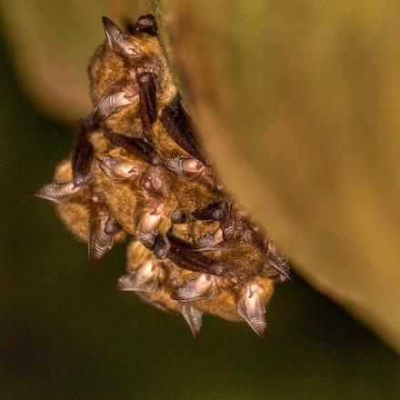 eastern long eared bats,  Nyctophilus bifax - eastern long eared bats,  Nyctophilus bifax, bats