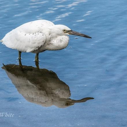 Eastern Reef egret  ( photo taken in Cairns) - Eastern Reef egret