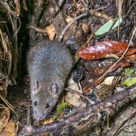 Rattus fuscipes - Rattus fuscipes, rats, Mt Lewis
