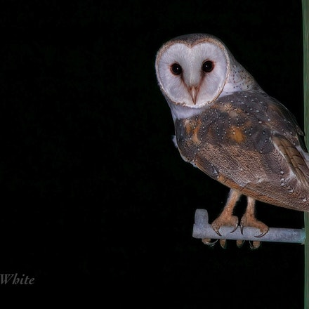 Eastern Barn Owl Tyto javanica Miallo