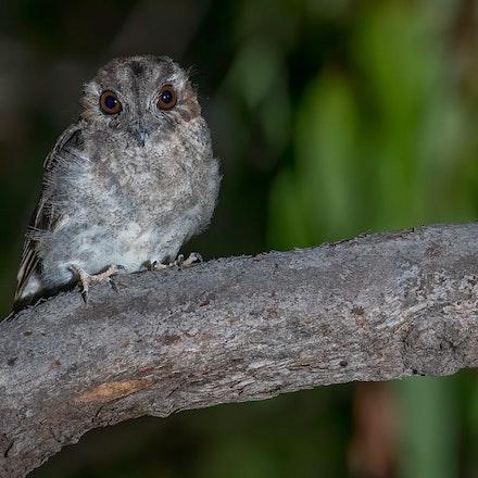 Owlet Nightjar Aegotheles