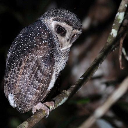 Lesser Sooty Owl Tyto Multipunctata