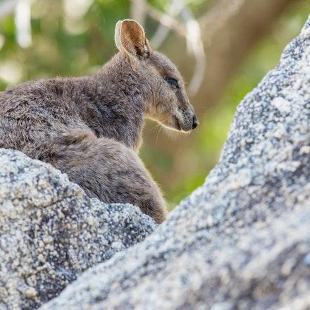 Mareeba Rock Wallaby, Petrogale mareeba - Mareeba Rock Wallaby, Petrogale mareeba, wallaby ,