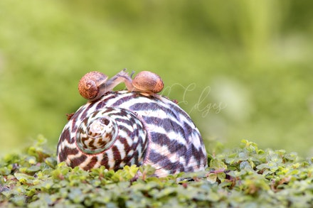 The snails who stole a kiss