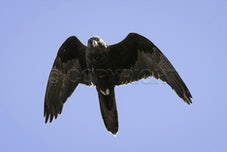 Falcons - Australia is home to 24 species of Diurnal (Daytime) Raptors(Birds Of Prey).