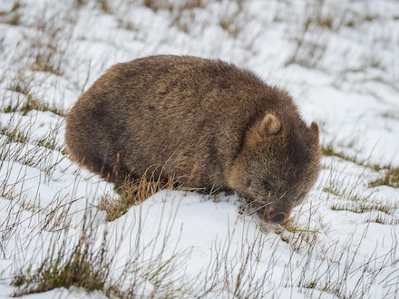 Wombat looking for food - A hungry wombat searches for food close to Ronny Creek in Cradle Mountain National Park