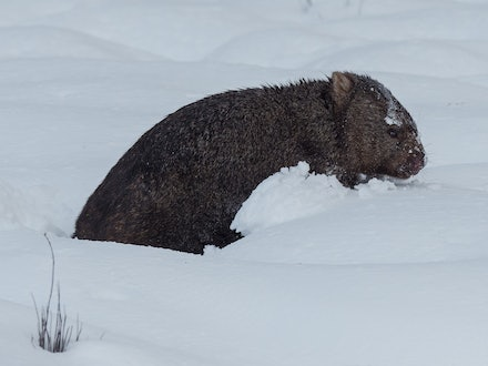 Wombat in the snow - A resident wombat at Peppers Cradle Mountain Lodge struggles through heavy snow - after five days of snowfall at Cradle Mountain the...