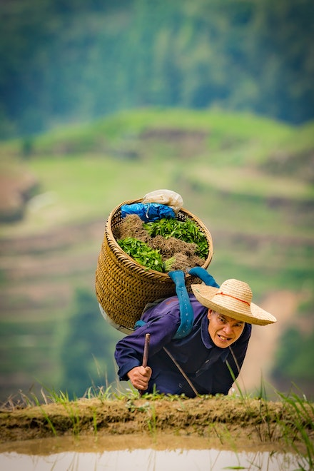 Farmers of the Dragon's Backbone - A farmer on the rice terraces of the Dragon's Backbone at Longsheng. Many of the pathways through the terraces a quite...