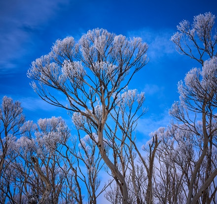 Frozen Trees - Following a spring snowfall in the Central Highlands of Tasmania, beautiful sights appear wherever you look - the tips of these trees are...