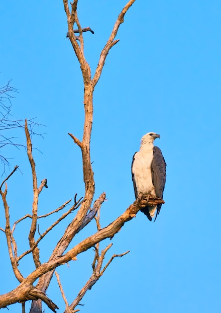 White-bellied Sea Eagle - The White-bellied Sea-Eagle is the second largest raptor (bird of prey) found in Australia. White-bellied Sea-Eagles are a common...