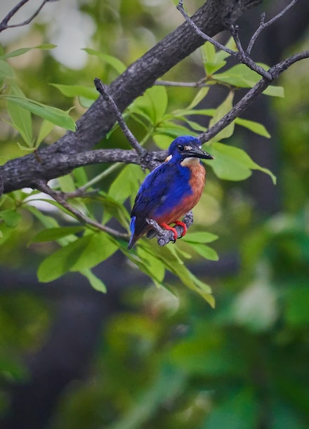 Azure Kingfisher - With its combination of royal-blue plumage on its upper parts contrasting with orange on its underparts, the Azure Kingfisher is one...