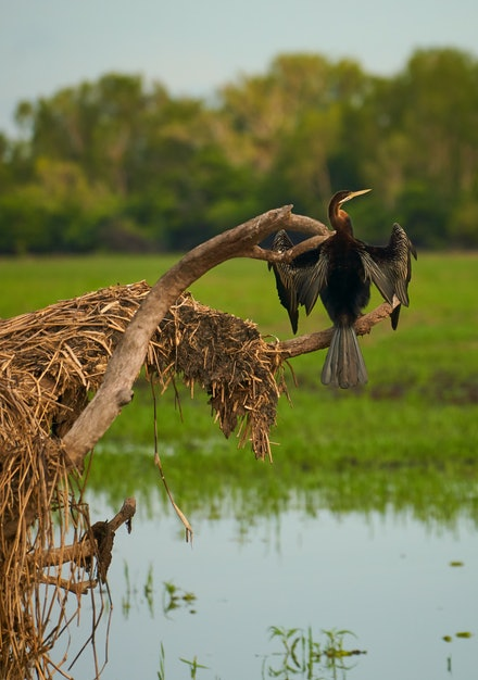 Australasian Darter (Male) - Because of its long and slender neck, the Australasian Darter is sometimes called the snakebird. The Darter is found in wetlands...