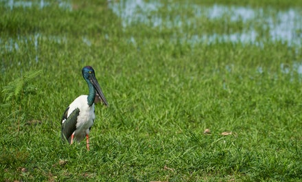 Black-necked Stork (Jabiru) - The Black-necked Stork is the only species of stork that occurs in Australia. Its name is a little misleading, as the bird's...