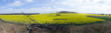 Canola Crop - A stitched panorama of canola crop.