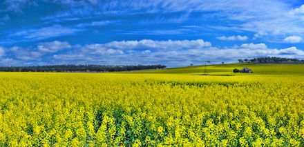 Canola Crop - The Canola crop.