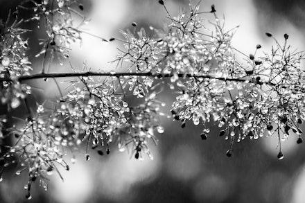 Smokebush - Black and white image of smokebush branch after rain.