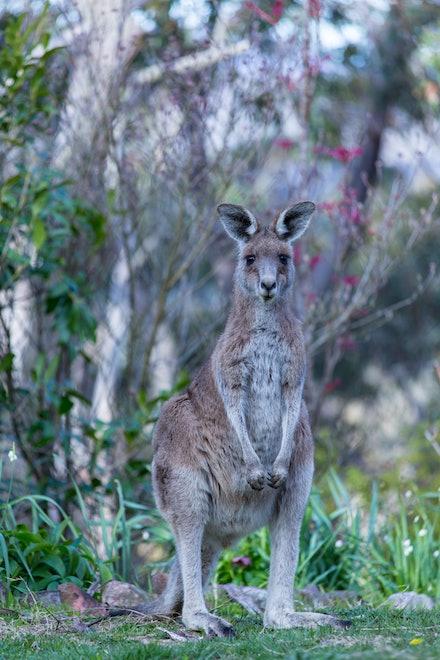 Standing Kangaroo - An Australian native belonging to the animal group Macropods.