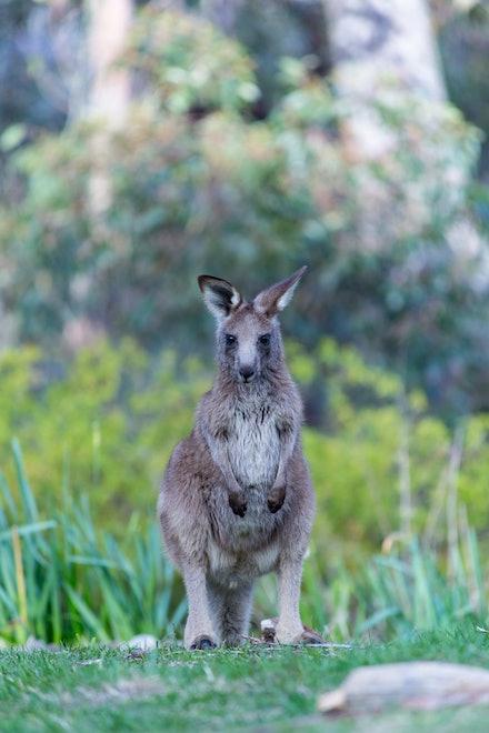 Small Kangaroo - A small kangaroo, the native kangaroo belongs to the animal group Macropods.