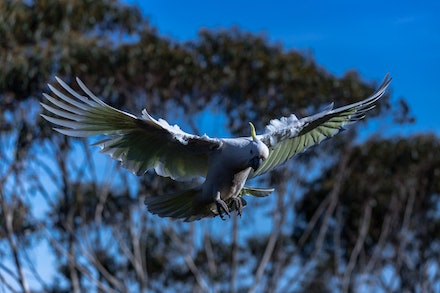 White Flying Cockatoo - A sulpher-crested cockatoo (Cacatua Galletita).