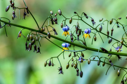 Australian Native Flax Lily - The native Flax Lily is a hardy native grass.