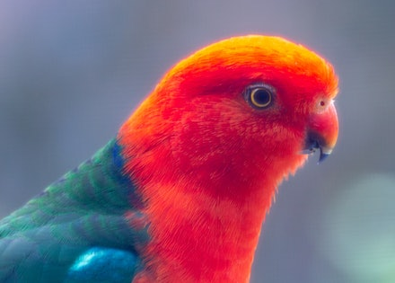 King Parrot - A close up of the King Parrot, a native to Australia.