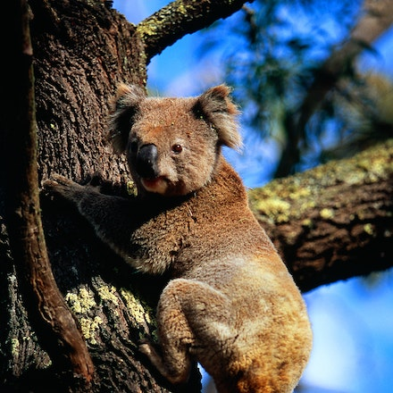 The Koala. - A koala stops to look at me as it climbs a tree at Mt. Eccles in South West Victoria, Australia.