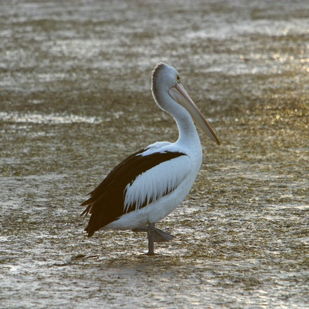 Walking Pelican. - A pelican walking on Port Fairy's Moyne River flats at low tide.